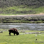 More Bison grazing in Yellowstone