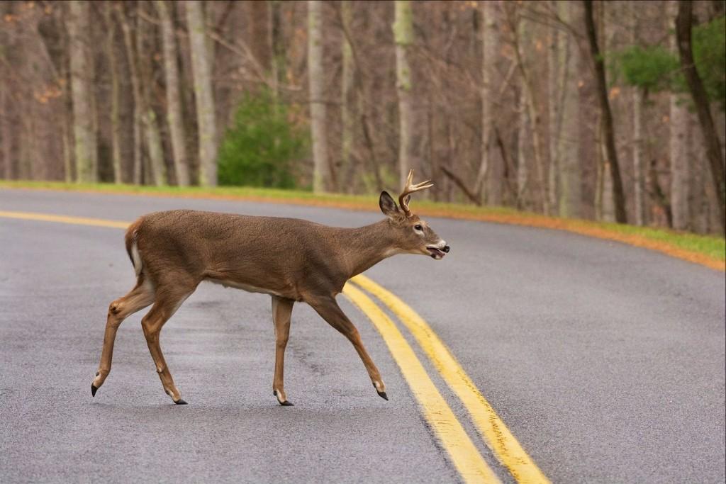 deer on road_1537815813492.jpg.jpg