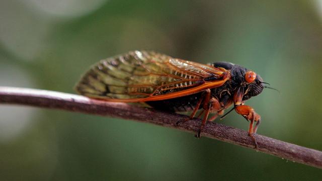 cicada_1556813684681.jpg