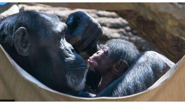 baby chimp nc zoo_1555104485970.JPG_82144882_ver1.0_640_360_1555261636113.jpg.jpg