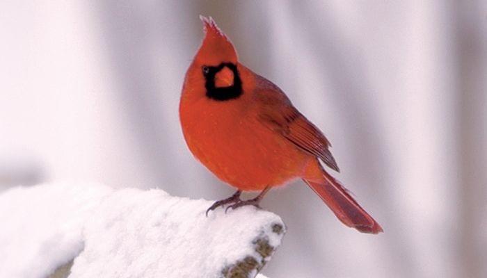 700x400 bird cardinal northern wbu0061