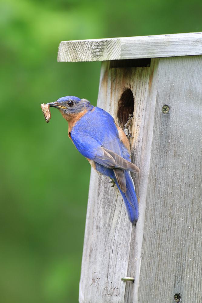 Eastern Bluebird feeding young by Adrian Binns