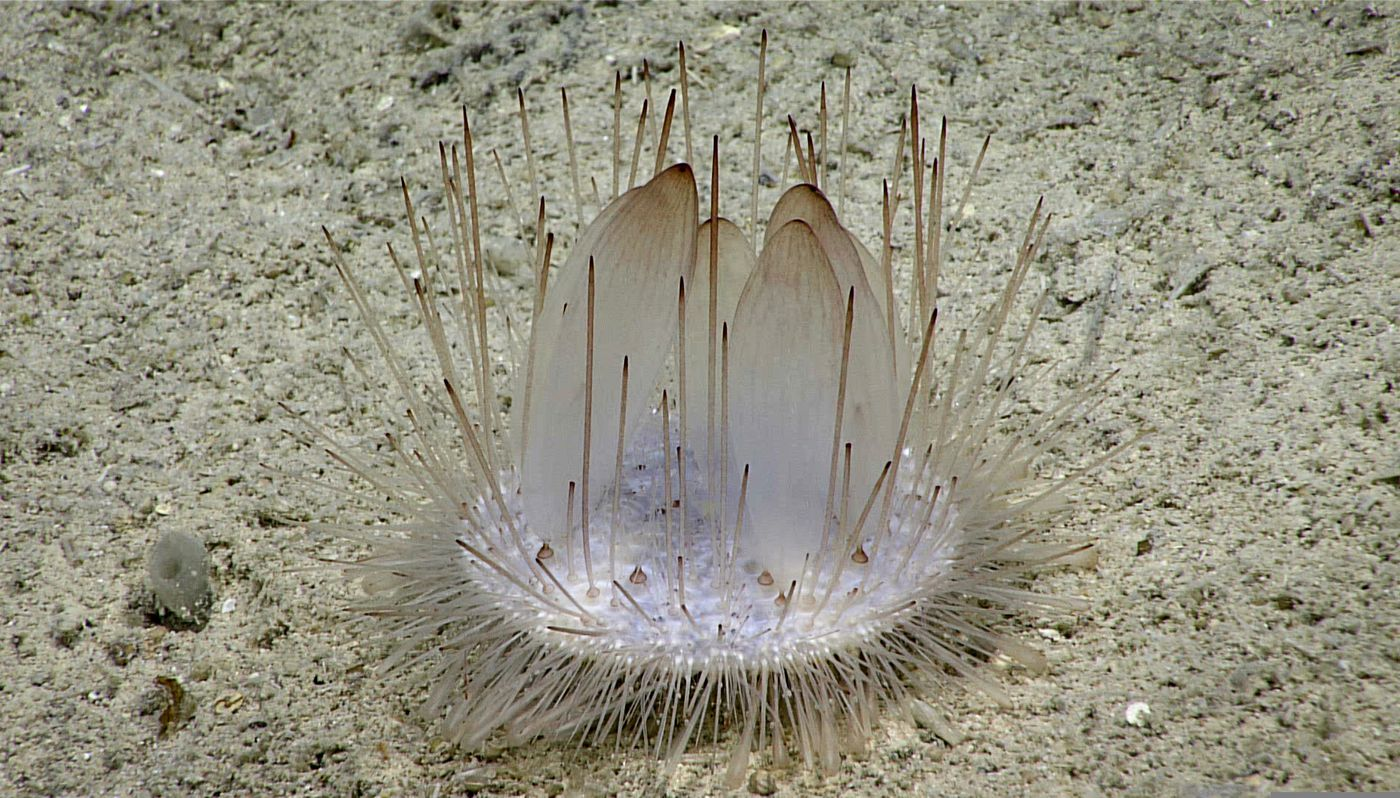 This Nov. 1, 2018 handout photo provided by the U.S. National Oceanic and Atmospheric Administration Office of Ocean Exploration and Research, shows a Pancake urchin during dive 2 of the 2018 Oceano Profundo expedition, in the deep waters of the U.S. Caribbean. 19 dives were performed by remotely operated vehicles over 145 hours and were streamed live. (NOAA Office of Ocean Exploration and Research via AP)