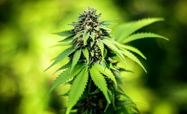 Medical Marijuana_91695