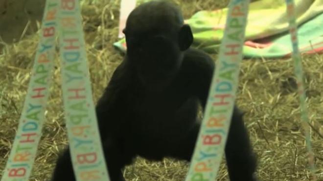 gorilla_260749