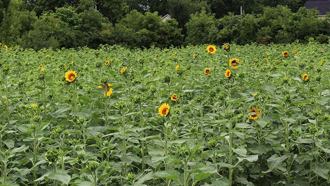 8-9 sunflower_1533828484572.jpg.jpg