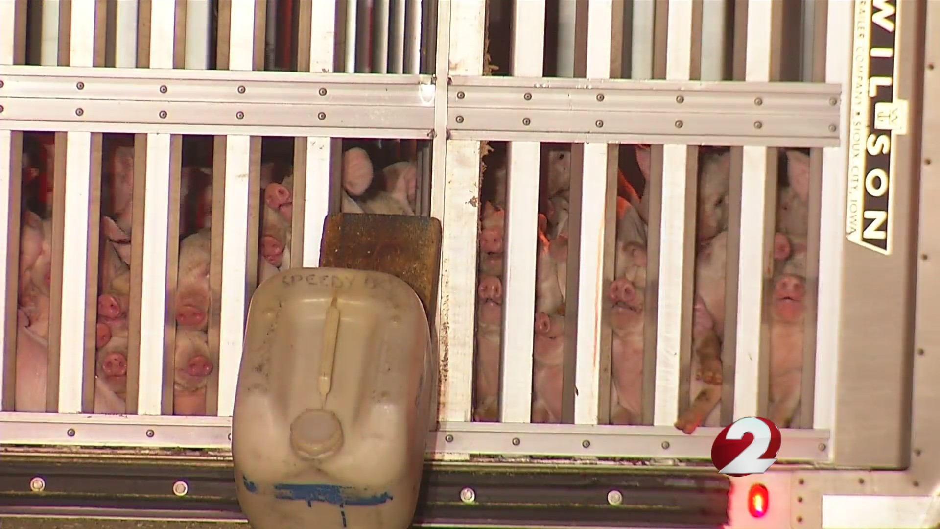 Truck hauling piglets overturns on highway ramp