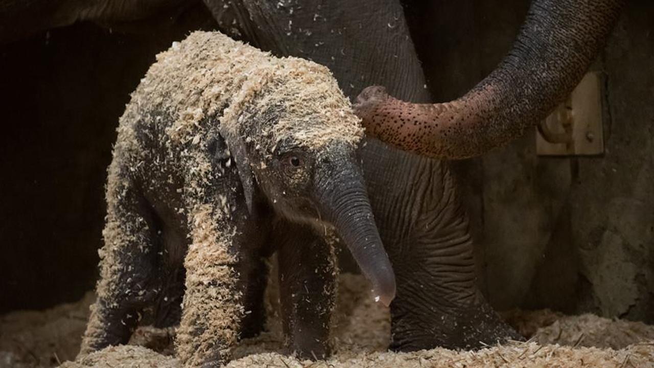 Baby_elephant_born_at_Columbus_Zoo_1_20181206235211-873772846