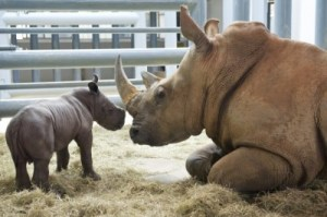 rhino-baby-with-mother-2-640x425
