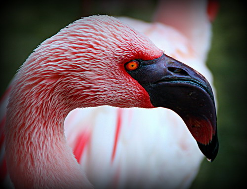 In the DAK aviary, we found a pink flamingo that would be perfect for a croquet match between Alice and the Queen of Hearts.