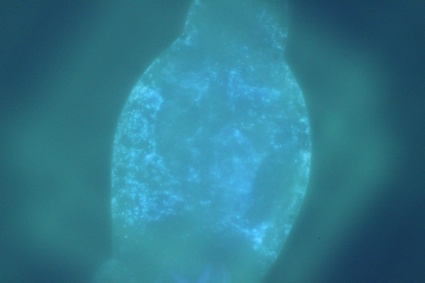 0glowing rotifer.jpg