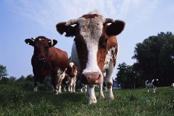 20031228-cows[1].jpg
