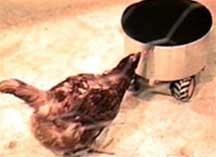 pecking.jpg