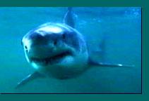shark[1].jpg