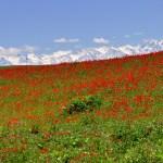 цветущие маки на фоне гор