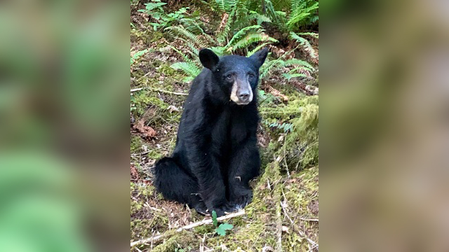 habituated black bear b 06132019_1560494235771.jpg-842137445.jpg