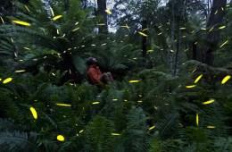 Fireflies Fern