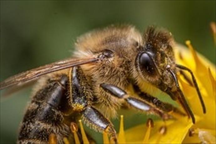 honeybee_4279981081993432156