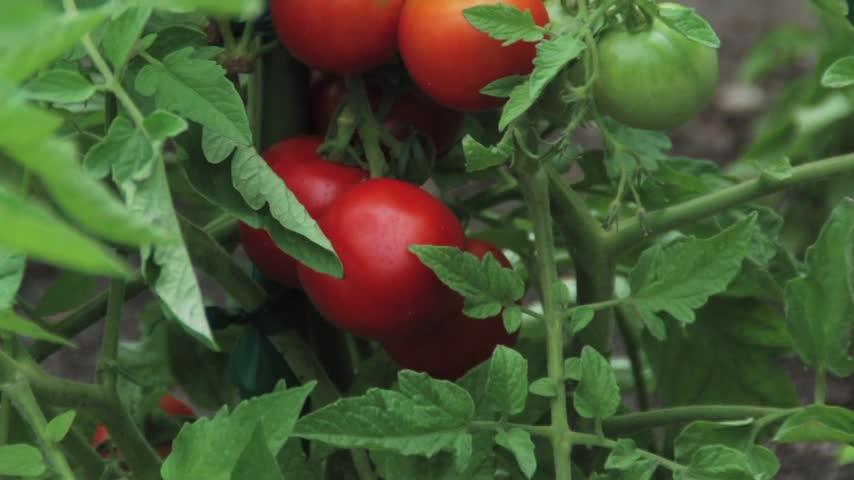 Melinda's Garden Moment: Tomato Tips