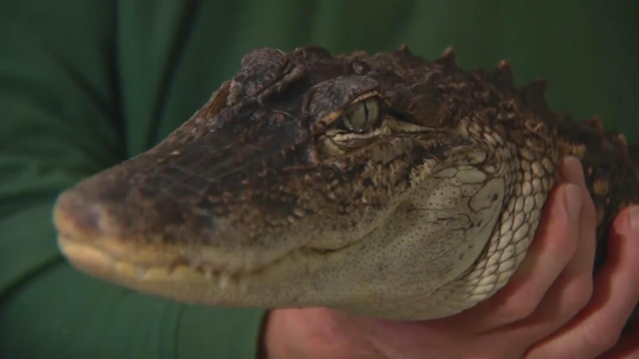 Alligator in Lake Michigan