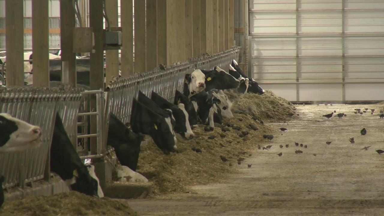 Farm Family: Gold Star Dairy