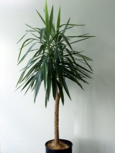 A yucca plant indoors against a white wall