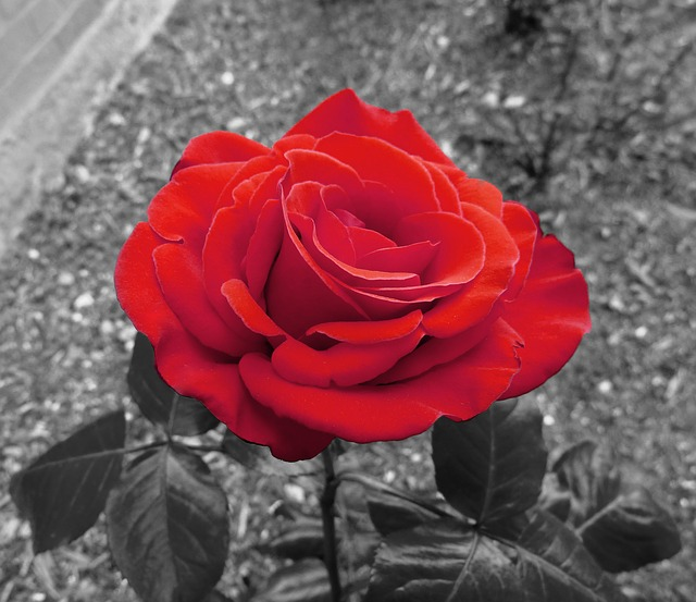 garden-rose