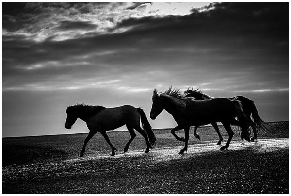 A black and white image of Icelandic horses trotting down the road