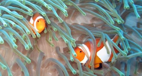 2 Sulawesi, Bunaken, Clownvis