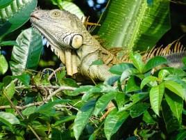 5. Tortuguero - animals (4)