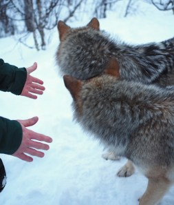 Aaien wolven