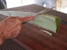 Aloe vera schillen plantage curaloe curacao