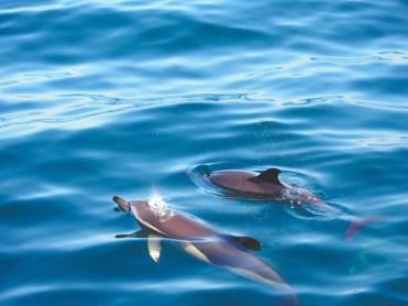 Azoren-dolfijnen-spotten