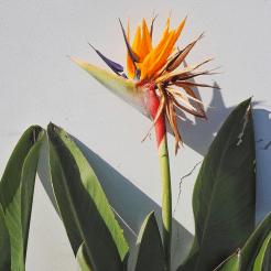 Azoren paradijsvogel bloem ponta delgada