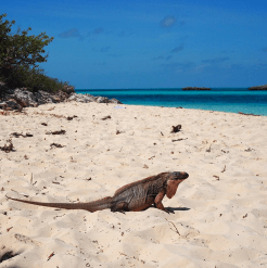 Bahamas powerboat adventures iguana