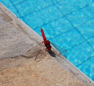Belvilla natuur libelle