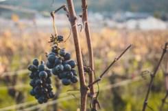 Champagne kopen bij de boer druiven