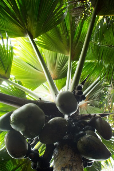 Coco de Mer boom Vallee de Mai praslin seychellen