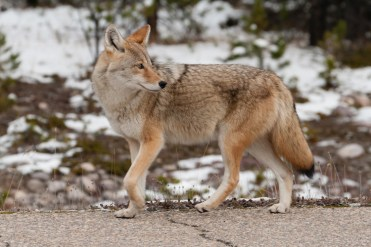 Coyote Icefields Parkway