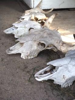 Elk island national park buffels