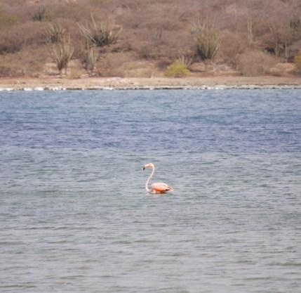 Flamingo zwemmen curacao