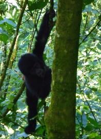 Gorilla's oeganda jungle