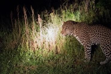 Hluhluwe zuid afrika luipaard