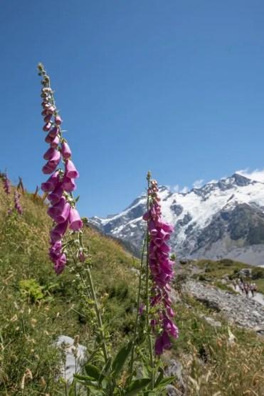 Hooker Valley Track Nieuw Zeeland bloemen