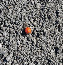 Lieveheersbeestje etna vulkaan