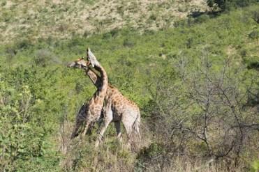 PIlanesberg Zuid Afrika giraffen