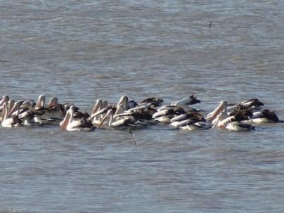 Pelikanen dieren in Australie