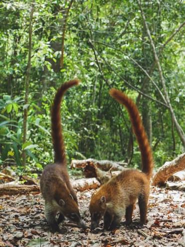 Tikal Guatemala jungle dieren-2