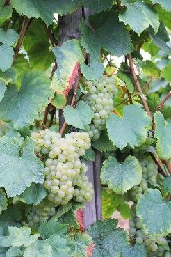 wijnranken vogezen frankrijk