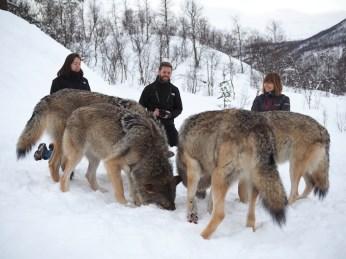 wolven groep polar park